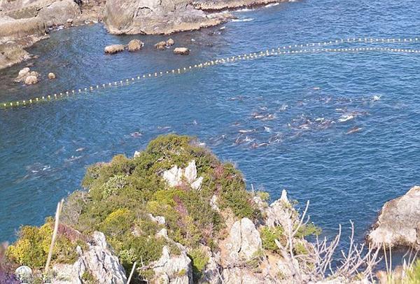 日本渔民囚禁大量海豚1.jpg