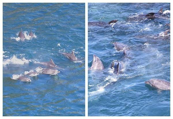 日本渔民囚禁大量海豚3.jpg
