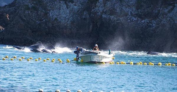 日本渔民囚禁大量海豚5.jpg