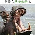 世界最大犬齒.jpg