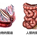 腸道.jpg
