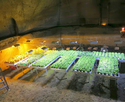 在隧道裏面種菜.jpg