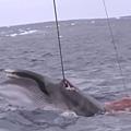 日本血腥捕鲸片段曝光2.jpg