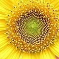 向日葵和兩層種子.jpg