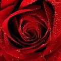 聖愛玫瑰1.jpg