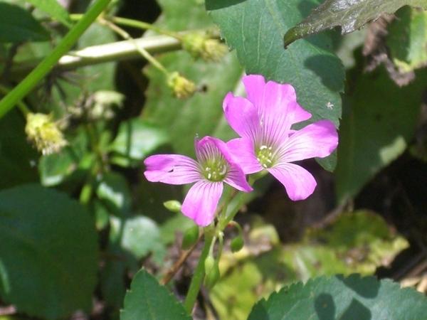 知本老爺後山有一條步道,步道上的小花