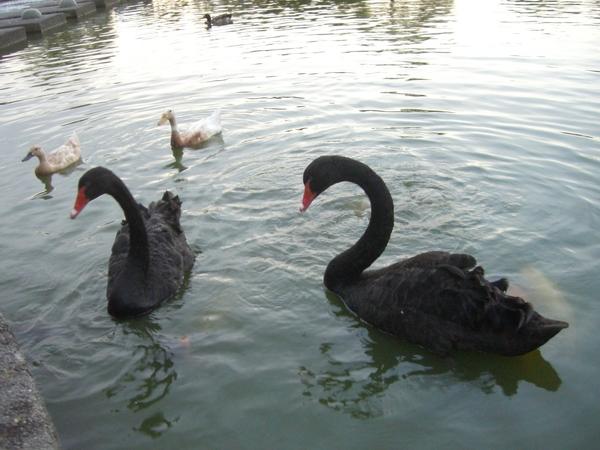 這兩隻黑天鵝應該是夫妻吧!公的好兇一直搶魚飼料吃,母的就很溫和在一旁