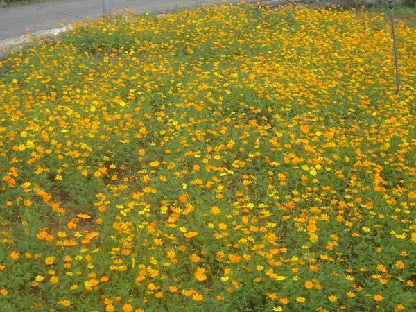 遍地小黃花,很美唷~