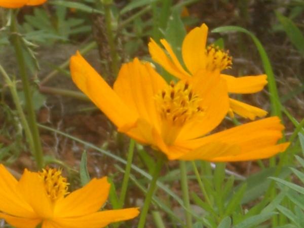 小黃花近照,一整片很是壯觀