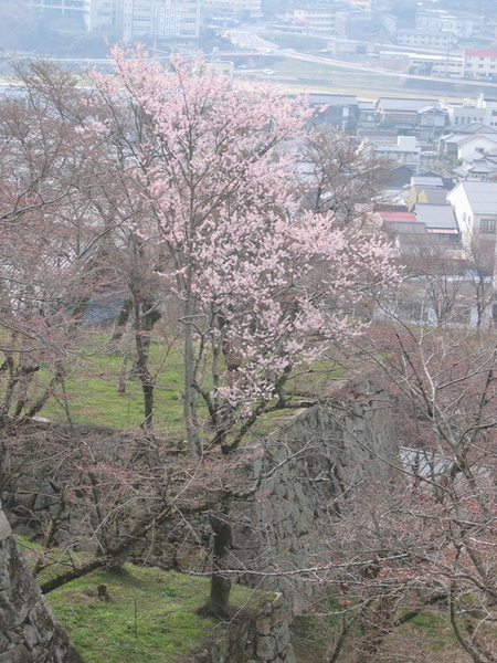 有開的櫻花還是不多