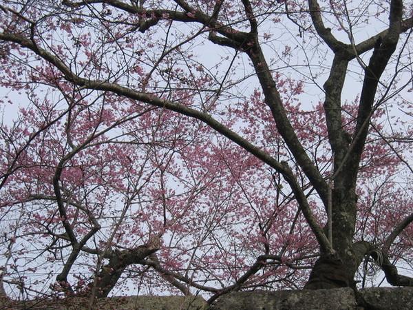 由下往上拍的櫻花樹