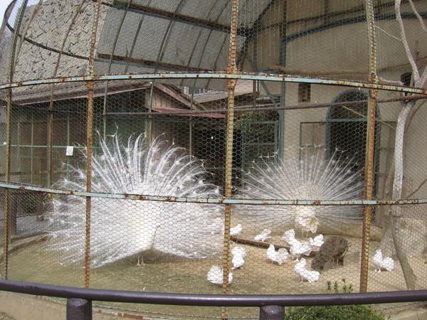 園內的白孔雀開屏了