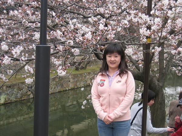 倉敷運河的櫻花樹