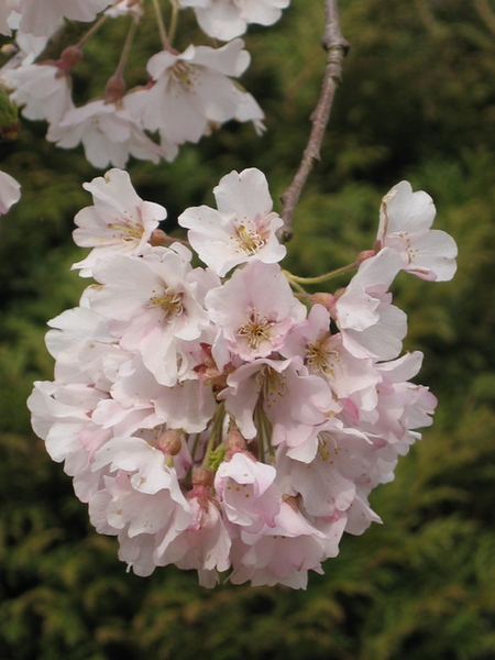 粉紅色的櫻花