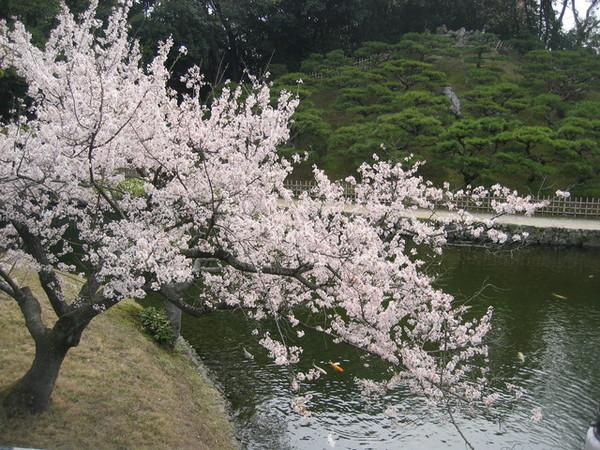 湖邊一棵垂櫻