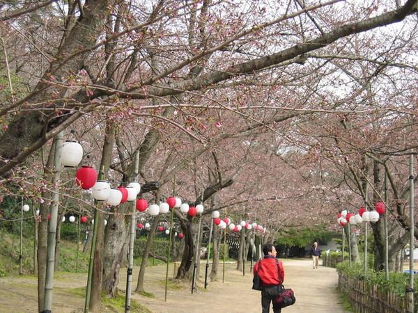 整排櫻花樹,開滿時一定很美