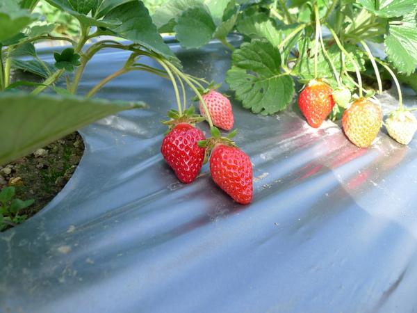 草莓紅紅的好像寶石喔!