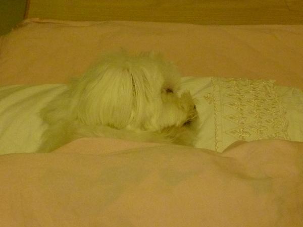 睡得像個天使的樂樂.JPG