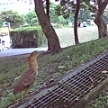 象山第一站旁之黑冠麻鷺