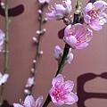 象山第一站杏花朵朵開