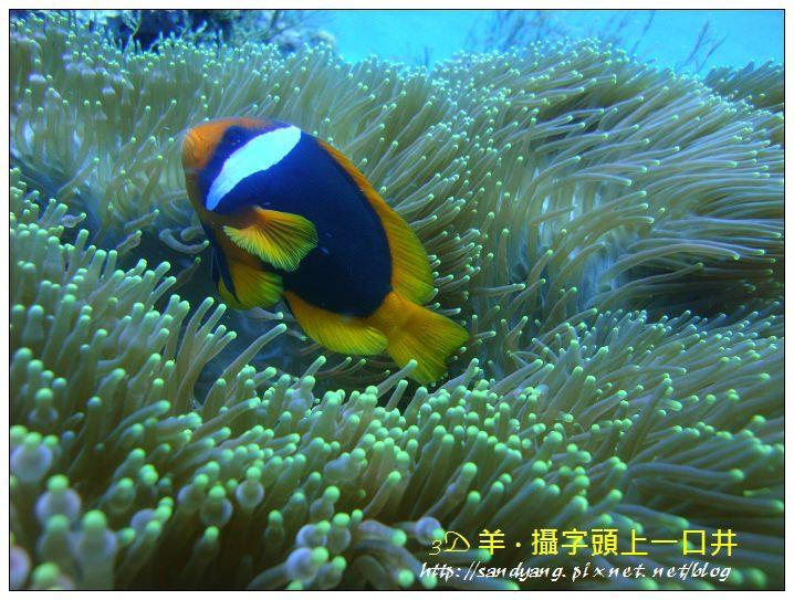 nEO_IMG_【紅小丑】白條雙鋸魚(Amphiprion frenatus).jpg