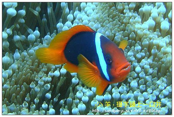 nEO_IMG_【紅小丑】白條雙鋸魚(Amphiprion frenatus)1.jpg