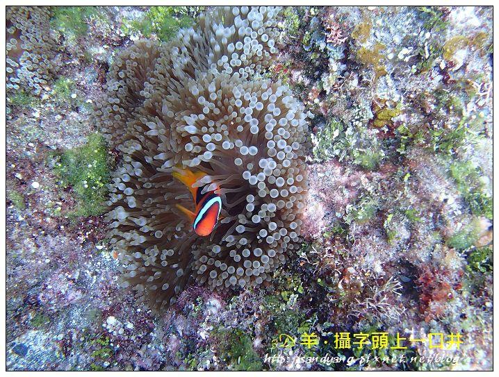 nEO_IMG_【紅小丑】白條雙鋸魚(Amphiprion frenatus)2.jpg