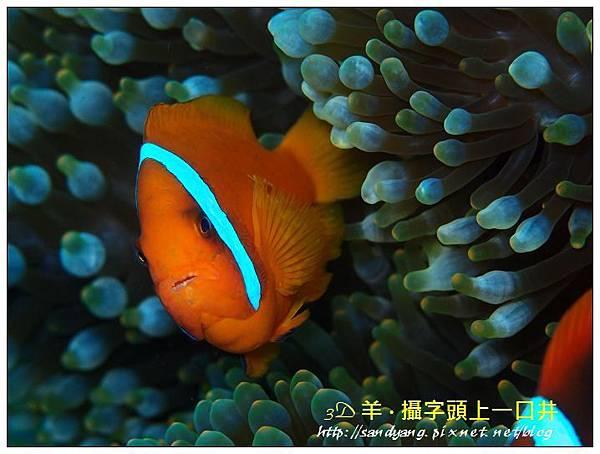 nEO_IMG_【紅小丑】白條雙鋸魚(Amphiprion frenatus)5.jpg