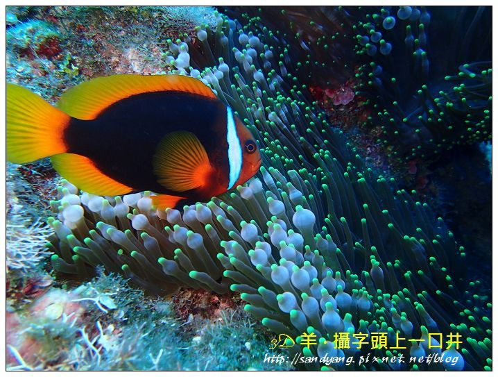 nEO_IMG_【紅小丑】白條雙鋸魚(Amphiprion frenatus)3.jpg