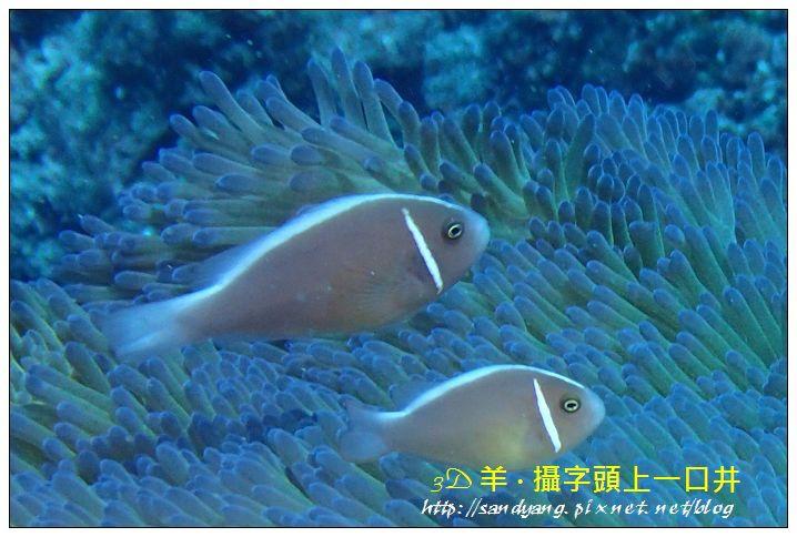 nEO_IMG_【粉紅小丑、咖啡小丑】粉紅雙鋸魚(Amphiprion perideraion)1.jpg