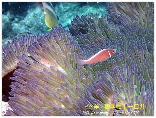 nEO_IMG_【粉紅小丑、咖啡小丑】粉紅雙鋸魚(Amphiprion perideraion).jpg