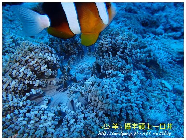 nEO_IMG_【雙帶小丑魚】克氏雙鋸魚(Amphiprion clarkii).jpg