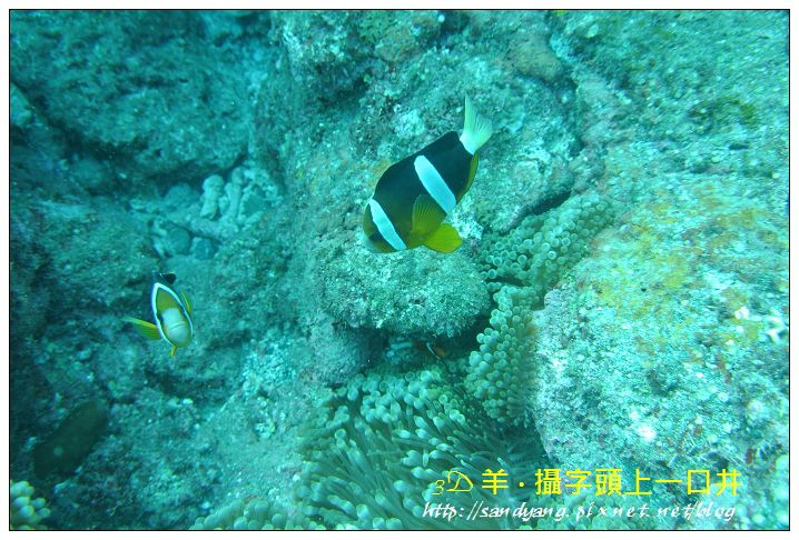 nEO_IMG_【雙帶小丑魚】克氏雙鋸魚(Amphiprion clarkii)1.jpg