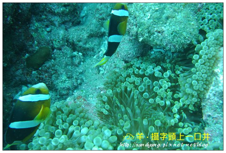 nEO_IMG_【雙帶小丑魚】克氏雙鋸魚(Amphiprion clarkii)2.jpg