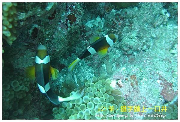nEO_IMG_【雙帶小丑魚】克氏雙鋸魚(Amphiprion clarkii)3.jpg