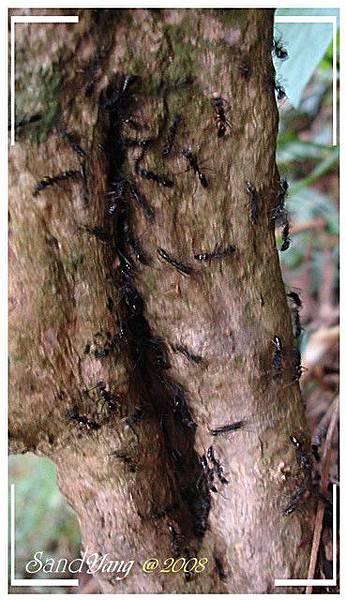 可怕的大螞蟻