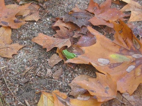 不知名的青蛙