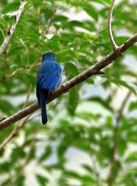 銅藍鶲雄鳥 - 布洛灣