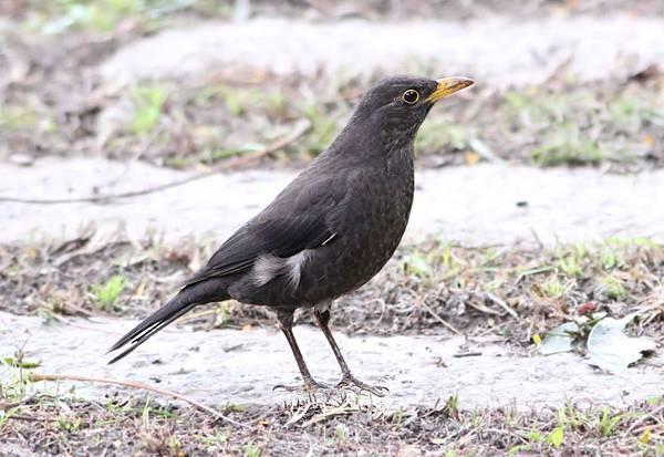 黑鶇雄鳥 - 千尋的家