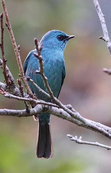 銅藍鶲雄鳥