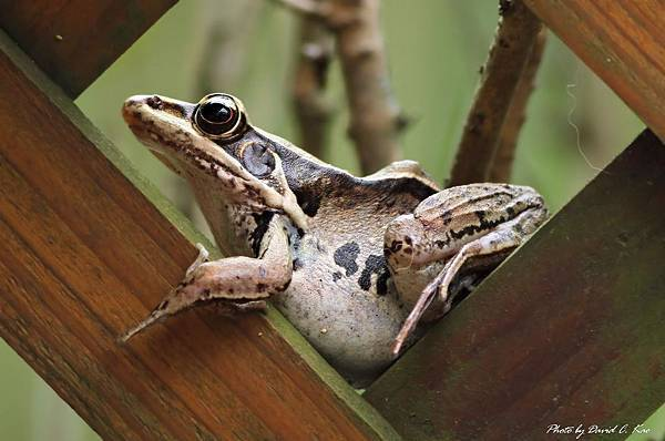 拉都希氏赤蛙
