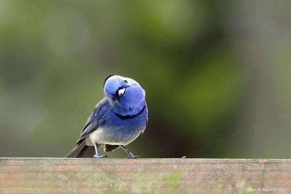 黑枕藍鶲公鳥