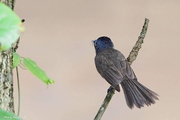 黑枕藍鶲母鳥