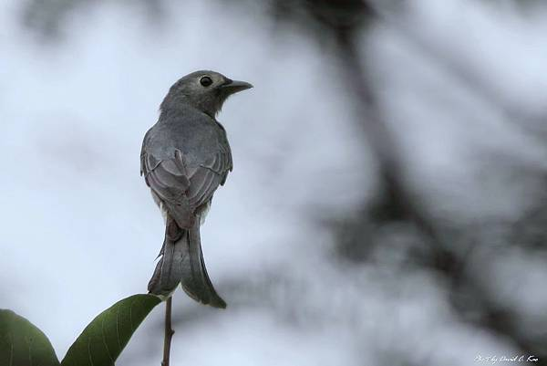 灰卷尾 - 稀有過境鳥/冬候鳥