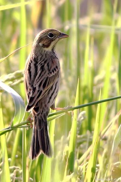 栗耳鵐 - 稀有過境鳥