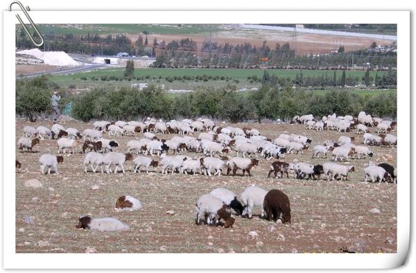 春天出生的羔羊們