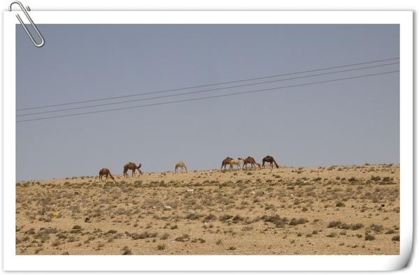 沿路景象(駱駝)