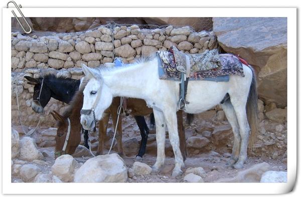 騾子(馬與驢的交配種)