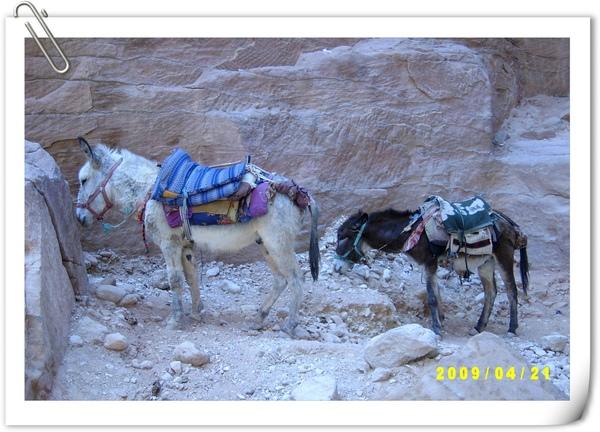 乘載觀光客的驢子