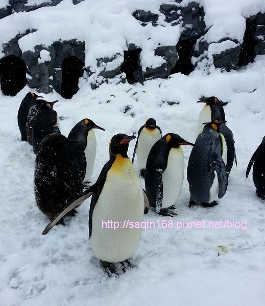 旭川動物園-企鵝